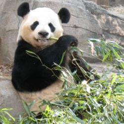 environment of giant panda